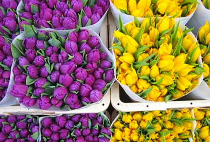 tulips_from_roza_tomsk_1549.png