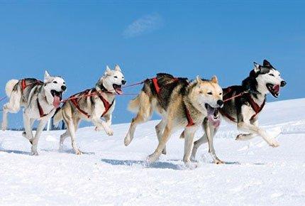Катание на собачьих упряжках со скидкой 50% в питомнике сибирский хаски «Сибериан Соул» заплати 500 руб вместо 1000