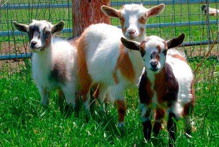 30 апреля экскурсия на козью ферму со скидкой 50%