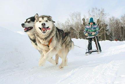 Экскурсия «В гости к северным собакам» с катанием на собачьей упряжке и чаепитием в деревенском доме со скидкой 50%